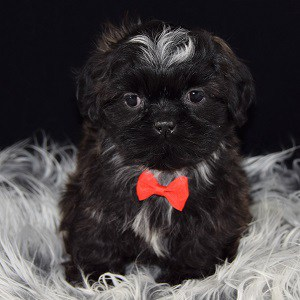 Arrow Shih Tzu Puppy For Sale In Ma Puppies And Pet Supplies