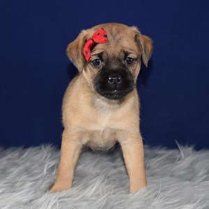 Jug Puppy For Sale – Ashe, Female – Deposit Only