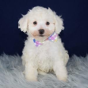 Bichon Puppy For Sale – Aspen, Male – Deposit Only