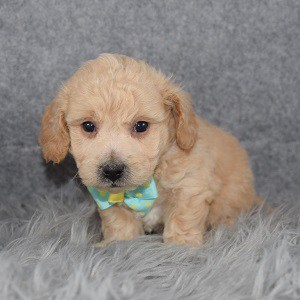 Bichonpoo Puppy For Sale – Aubrey, Male – Deposit Only