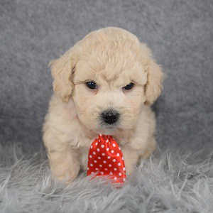 Bichonpoo Puppy For Sale – Auggie, Male – Deposit Only