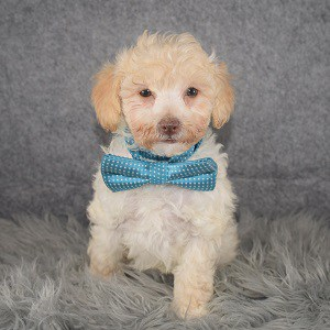 Poodle Puppy For Sale – Avery, Male – Deposit Only