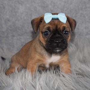 Jug Puppy For Sale – Bango, Female – Deposit Only