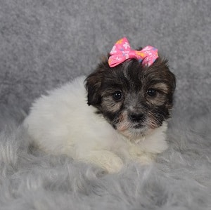 Shichon Puppy For Sale – Bayou, Female – Deposit Only