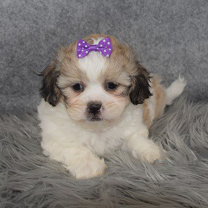 Shichon Puppy For Sale – Beauty, Female – Deposit Only