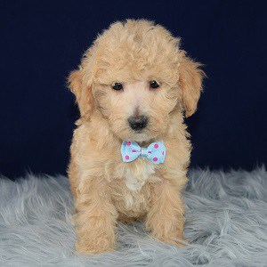 Benji Bichonpoo puppy for sale in VA