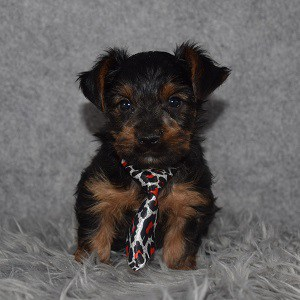 Yorkie Puppy For Sale – Bennett, Male – Deposit Only