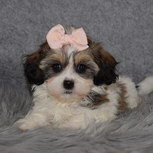 Shichon Puppy For Sale – Birdie, Female – Deposit Only