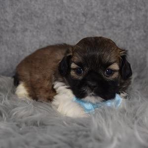 Shih Tzu Puppy For Sale – Boppy, Male – Deposit Only