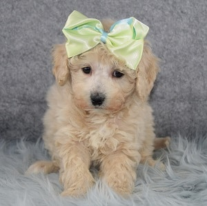 Bunny Bichonpoo puppy for sale in DE