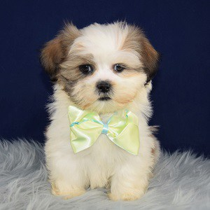 Shih Tzu Puppy For Sale – Butterscotch, Male – Deposit Only