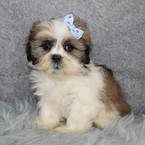 Shih Tzu Puppy For Sale – Caramel, Female – Deposit Only