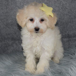Charlotte Bichonpoo puppy for sale in MA