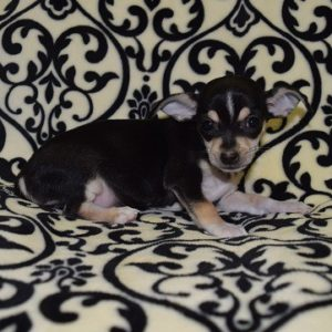 chihuahua puppies for sale in MD