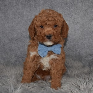 Poodle Puppy For Sale – Colt, Male – Deposit Only