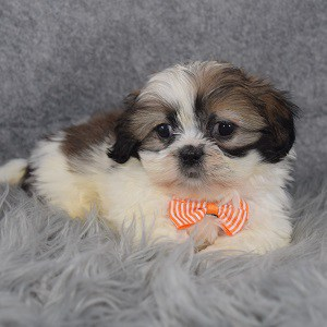 Shih Tzu Puppy For Sale – Copper, Male – Deposit Only