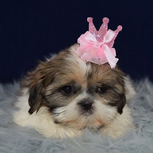 Deirdre Shih Tzu puppy for sale in DE