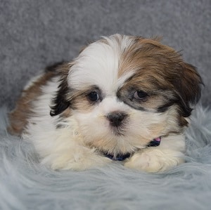 Derry Shih Tzu puppy for sale in NJ