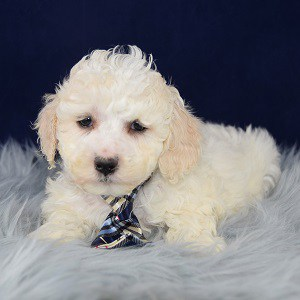 Easton Maltipoo puppy for sale in PA
