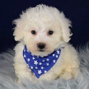 Finnegan Bichon puppy for sale in DE