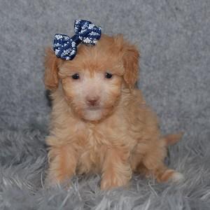Bichonpoo Puppy For Sale – Finola, Female – Deposit Only