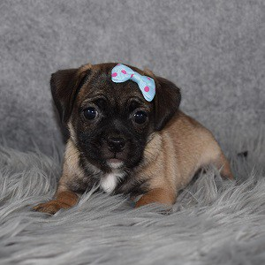 Jug Puppy For Sale – Firefly, Female – Deposit Only
