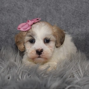 Shichon Puppy For Sale – Flower, Female – Deposit Only