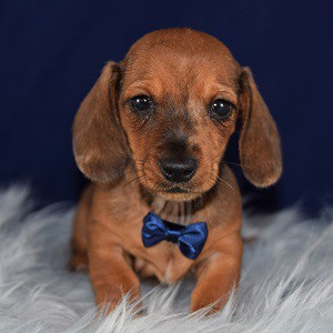Male Dachshund Puppy For Sale Gilligan Puppies For Sale In Pa Ma