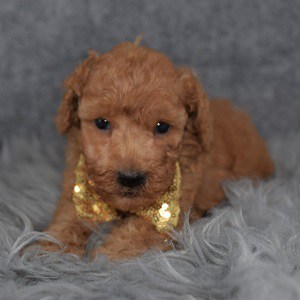 Poodle Puppy For Sale – Gilligan, Male – Deposit Only