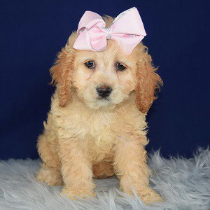 Goldie Cockapoo puppy for sale in MA