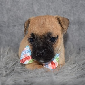 Jug Puppy For Sale – Harmon, Male – Deposit Only