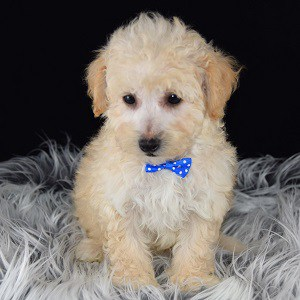 Hart Bichonpoo puppy for sale in NJ