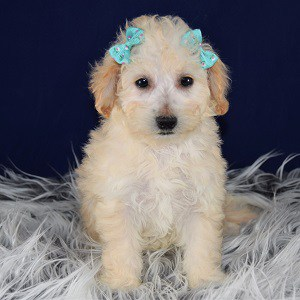 Haven Bichonpoo puppy for sale in WV
