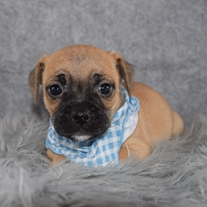 Jug Puppy For Sale – Holden, Male – Deposit Only