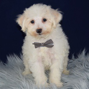 Jasper Bichon puppy for sale in DE