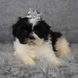 Shih Tzu Puppy For Sale – Jelly Bean, Female – Deposit Only