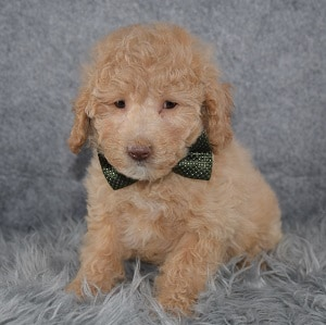 Poodle Puppy For Sale – Josiah, Male – Deposit Only