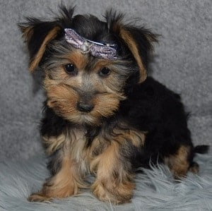 Karleigh Morkie puppy for sale in VA