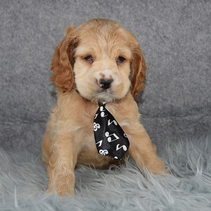 Klondike Cocker puppy for sale in DE
