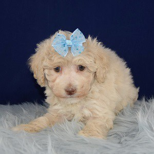 Lamb Bichonpoo puppy for sale in CT