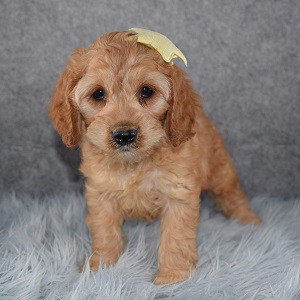 Cockapoo Puppy For Sale – Lana, Female – Deposit Only