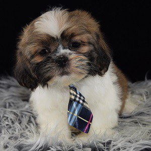 Lhasa Tzu puppy for sale in MA
