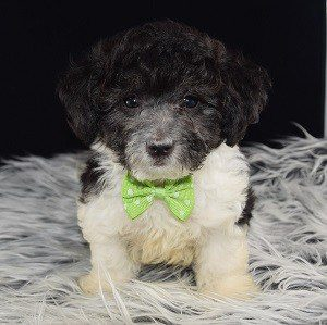 Lhasapoo puppy for sale in NY