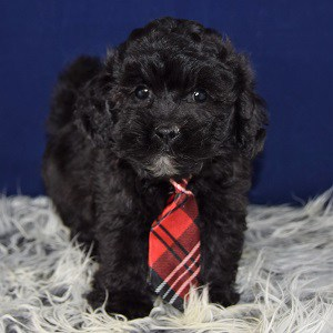 Lhasapoo puppy for sale in MD