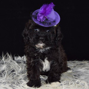 Lhasapoo puppy for sale in PA