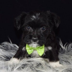 Loki Morkie puppy for sale in NY