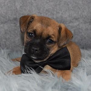 Macon Jug puppy for sale in NJ