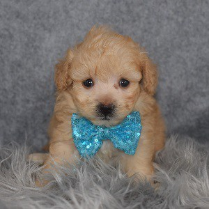 Pomapoo Puppy For Sale – Madden, Male – Deposit Only