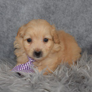 Pomapoo Puppy For Sale – Maddox, Male – Deposit Only