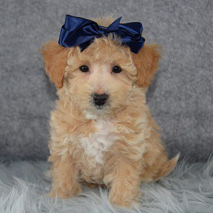 Madelyn Bichonpoo puppy for sale in CT